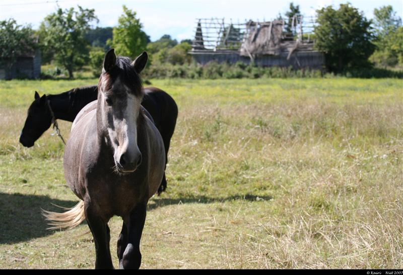 abruka hobused